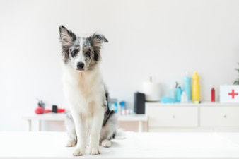 Portrait of a dog on white table in vet clinic