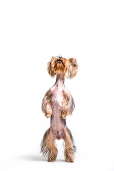 Portrait of a dog standing on hind leg
