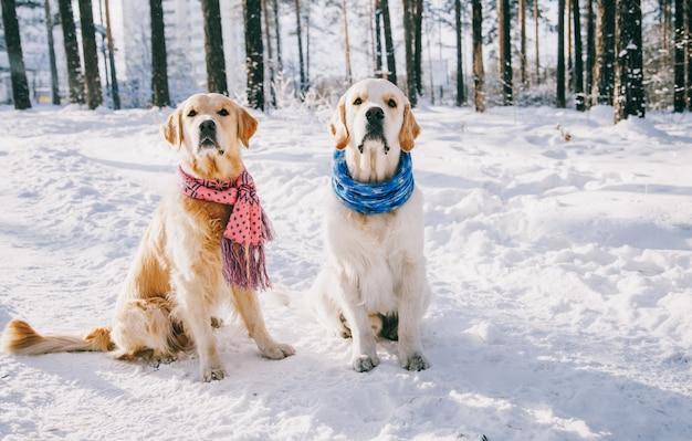 겨울에 야외에서 스카프를 착용하는 강아지의 초상화. 두 젊은 골든 리트리버 공원에서 눈 속에서 재생. 천