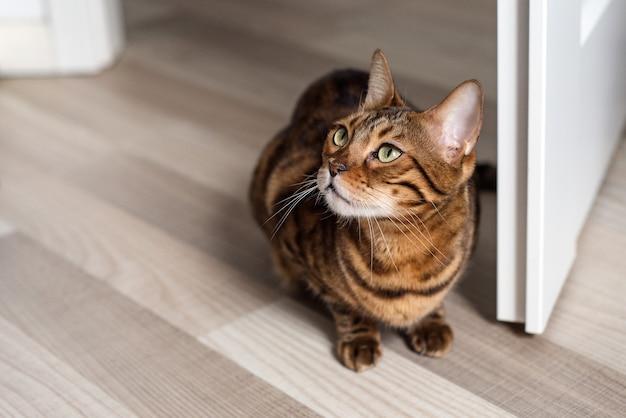 국내 벵골 고양이의 초상화입니다. 새끼 고양이는 문 근처의 밝은 실내에 앉습니다.