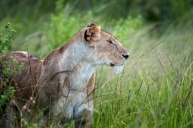 アフリカ、ケニアの国立公園の草の中にいる雌のライオンの肖像画。生息地にいる動物。自然からの野生動物のシーン
