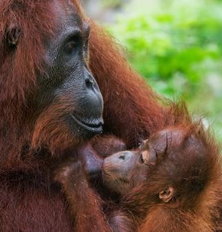 Портрет самки орангутана с младенцем в дикой природе. индонезия. остров калимантан (борнео).