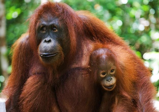야생에서 아기와 함께 여성 오랑우탄의 초상화. 인도네시아. 칼리만탄 섬(보르네오).