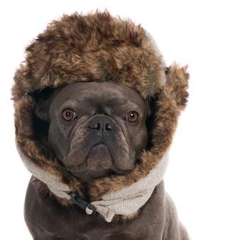 暖かい冬の帽子をかぶったフレンチブルドッグの肖像画。白に。