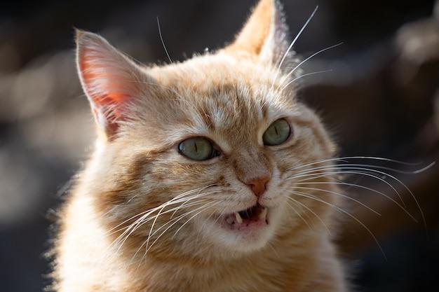 面白い生姜猫の肖像画。太った生姜猫のクローズアップ。猫がニャーと鳴く。好きなペット。
