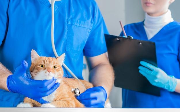 手術室のテーブルの上の面白い生姜猫の肖像画。獣医学の概念