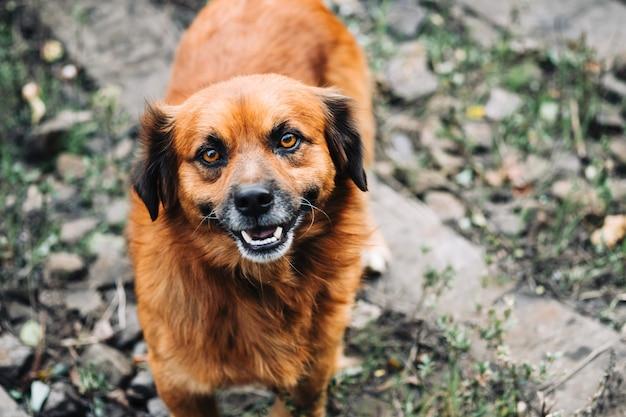 カメラを見ている面白い野犬の肖像画。