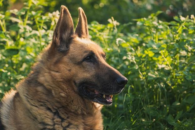 ジャーマンシェパードの肖像画。草の上に横たわるジャーマン・シェパード犬