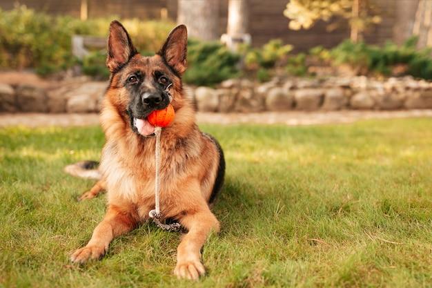 草の上に横たわっている口の中にオレンジ色のボールを持つジャーマンシェパードの肖像画。秋の公園の純血種の犬。