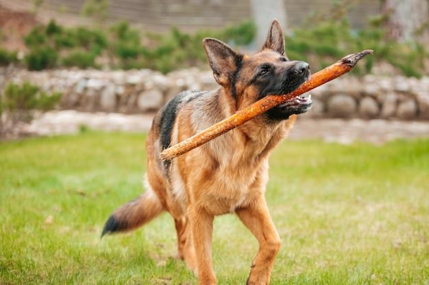 입에 막대기로 셰퍼드의 초상화. 순종 개.
