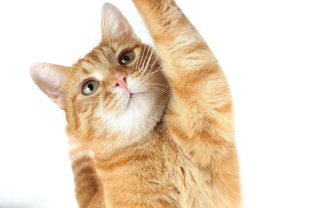 白い背景の上に彼の足を上げる生姜猫の肖像画。