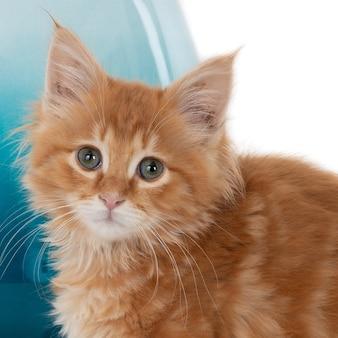 Портрет рыжего котенка