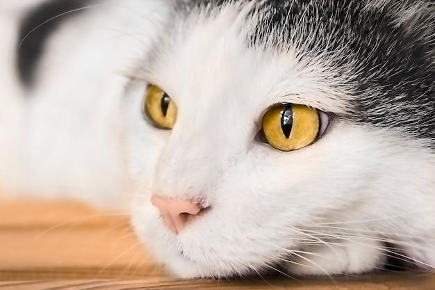木製のテーブルの上に横たわる明るい黄色の目を持つ灰色と白の猫の肖像画