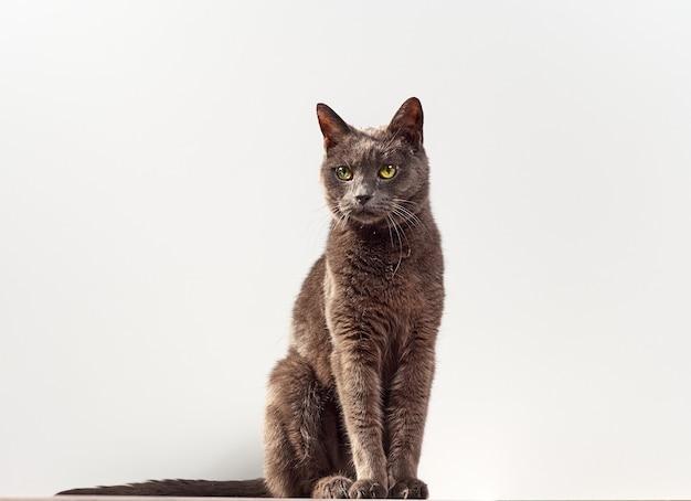 灰色の猫の肖像画をクローズアップ。