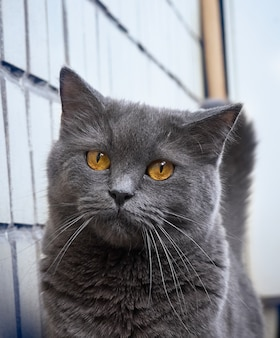 Портрет серого кота крупным планом.