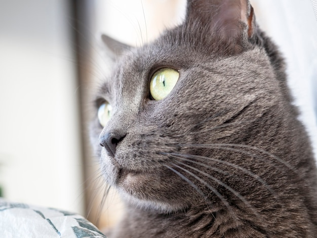 横を向いているロシアンブルーの灰色の猫の肖像画。背景がぼやけている