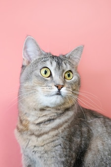 ピンクの背景に緑の目のクローズアップと灰色の猫の肖像画。かわいい面白い好奇心旺盛なペット。