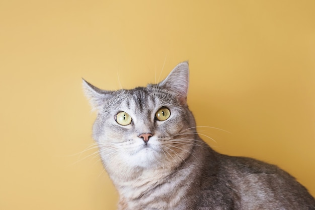 黄色の背景に緑の目のクローズアップと灰色の猫の肖像画。かわいい面白い好奇心旺盛なペット。
