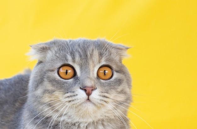 明るい背景に黄色い目のクローズアップと黒の縞模様のスコティッシュフォールド猫の灰色の肖像画。かわいい面白い好奇心旺盛なペット。