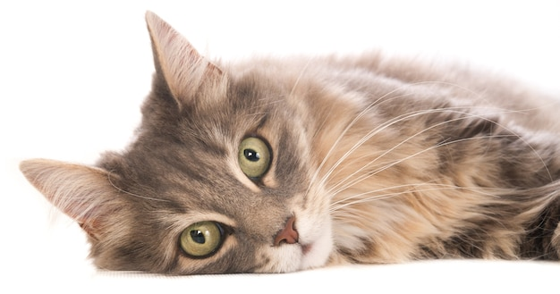 カメラを見ている灰色の横たわっている猫の肖像画。白に。