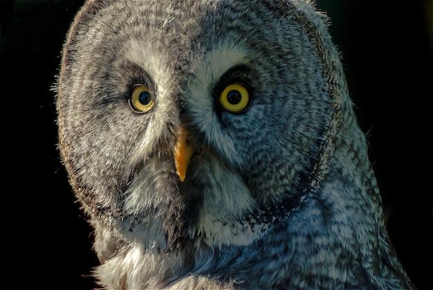 Портрет большой серой совы (strix nebulosa)