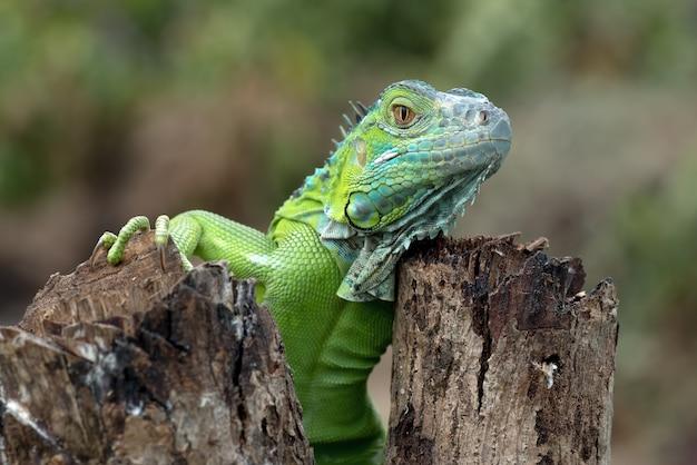明るい色の緑のイグアナの肖像画
