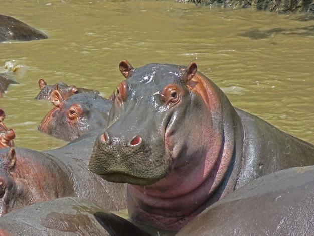 水で休むカバの肖像画、タンザニアのセレンゲティ国立公園