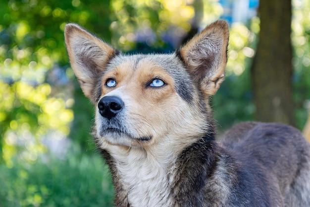 美しい青い目をしたホームレスの犬の肖像画。