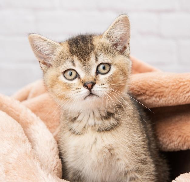 Портрет котенка шотландской шиншиллы прямо сидит в одеяле, крупным планом