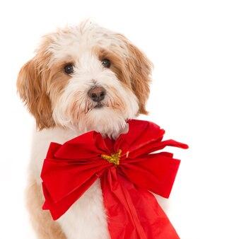 Портрет щенка лабрадуделя с рождественским галстуком-бабочкой. на белом.