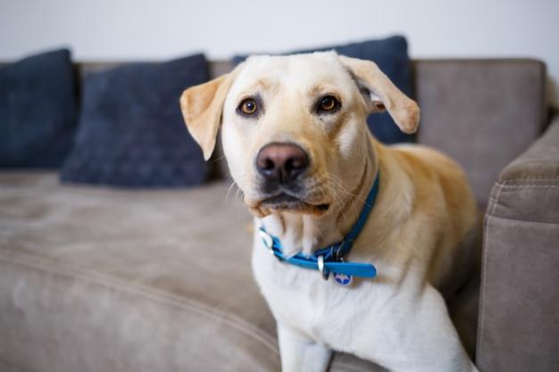 Портрет большой собаки породы лабрадор светлого окраса, лежит на диване в квартире, домашние животные. Premium Фотографии