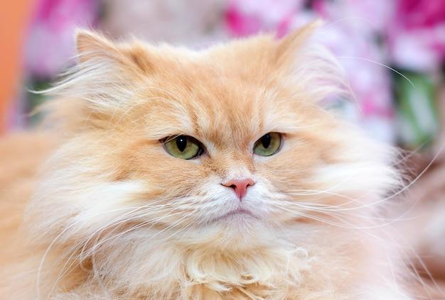 大きなふわふわの美しいかわいい赤い飼い猫のクローズアップの肖像画