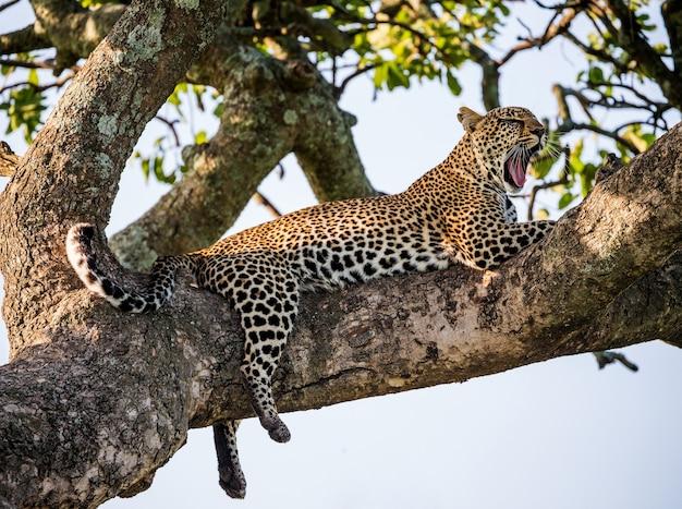 Портрет леопарда на природе