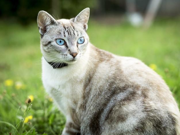 窮地に座っている青い目をした明るい髪の猫の肖像画