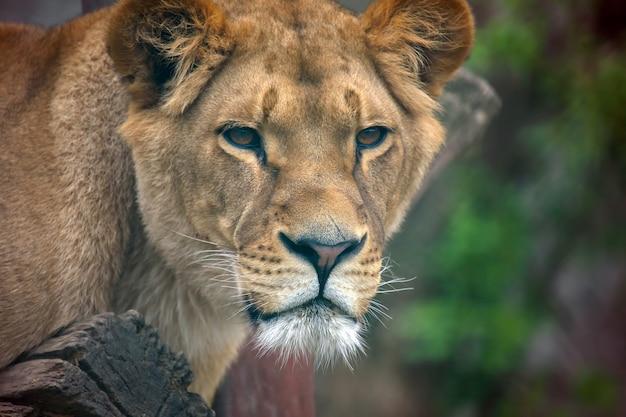 雌ライオンの肖像画をクローズアップ
