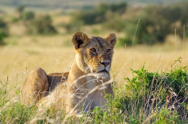 雌ライオンの肖像画。マサイマラ国立公園。ケニア
