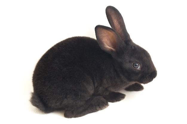 Портрет маленького черного кролика