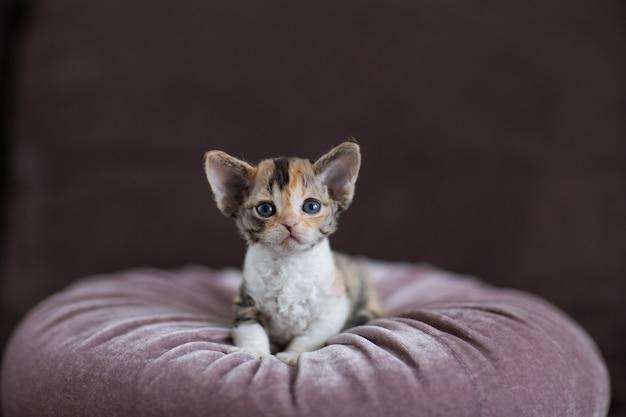 小さなデボンレックスの子猫の肖像画