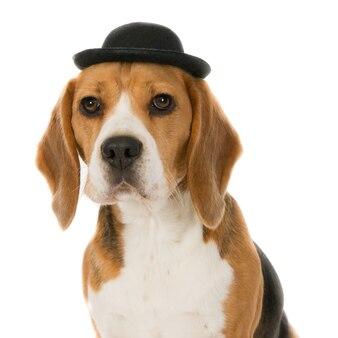 黒い帽子をかぶったビーグル犬の肖像画。