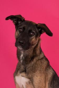 Портрет собаки-метиса на фоне розовой стены