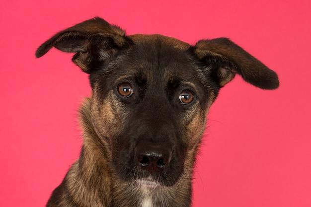 Портрет собаки-метрида на розовом фоне