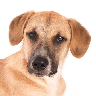 Портрет ищет щенка помесь из португалии на белом
