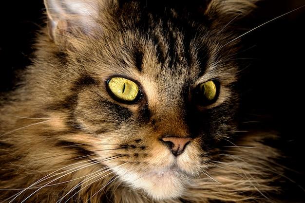Портрет кошки мейн-кун с зелеными глазами крупным планом