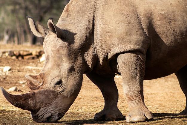 Портрет самца быка белого носорога, пасущего в национальном парке этоша намибия