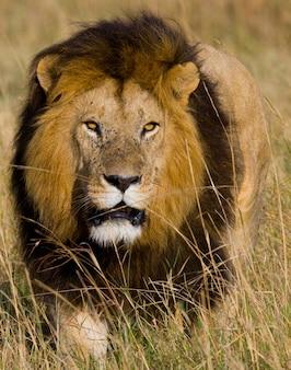 Портрет самца льва. кения. танзания. масаи мара. серенгети.