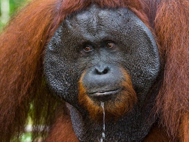 Портрет самца орангутана. крупный план. индонезия. остров калимантан (борнео).