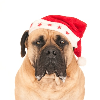 Портрет собаки мастифа в шляпе санты