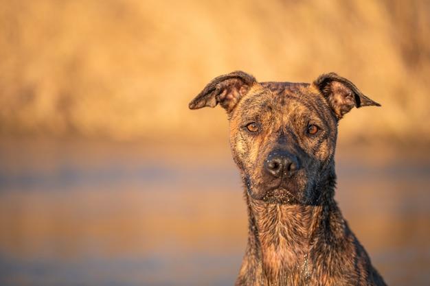 自然の夕日の光と川の混合された品種犬の肖像画