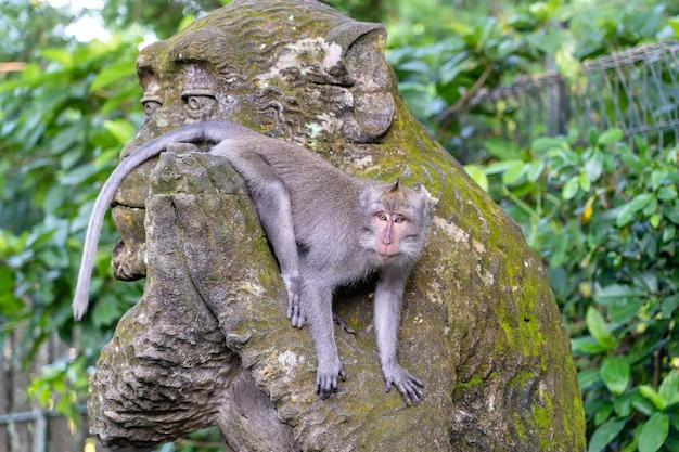Портрет обезьяны, сидящей на каменной скульптуре обезьяны в священном обезьяньем лесу в убуде, остров бали, индонезия. закрыть вверх