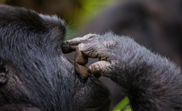 マウンテンゴリラの肖像画。ウガンダ。ブウィンディ原生国立公園。